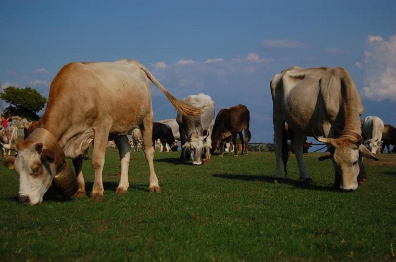 mucche al pascolo_Marcellino